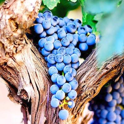 cuatrocienegas-grappe-raisin-vigne-mexique