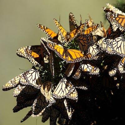 michoacan-papillons-monarques-mexique